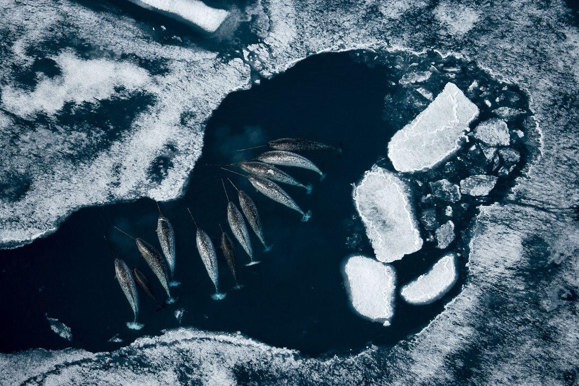 Un grupo de narvales devora bacalao junto a los témpanos de hielo del Ártico. El cuerno ...