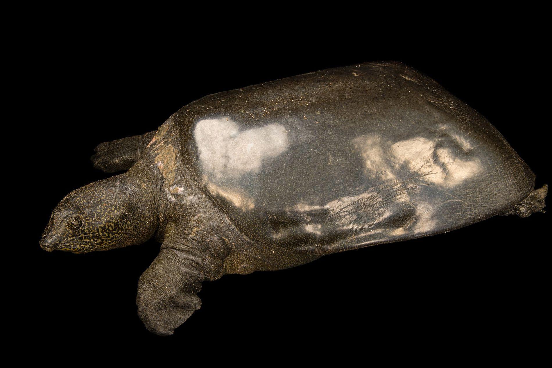 Esta tortuga gigante de caparazón blando Yangtsé hembra (fotografiada en su casa en el zoológico de ...