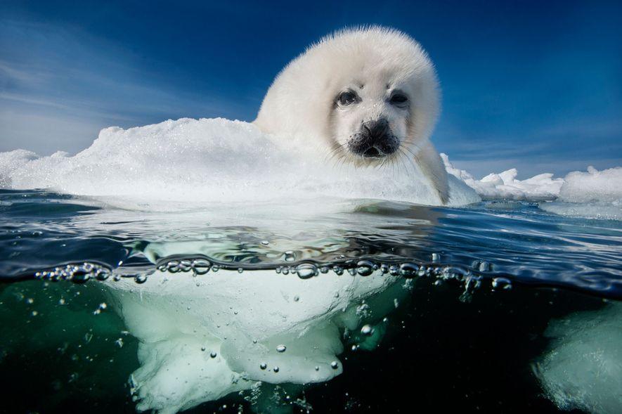 Una cría de foca de Groenlandia espera pacientemente el regreso de su madre, en el Golfo ...
