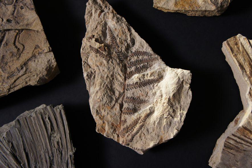 Este helecho está dentro de las 6000 hojas fósiles encontradas en Corral Bluffs que están ayudando ...