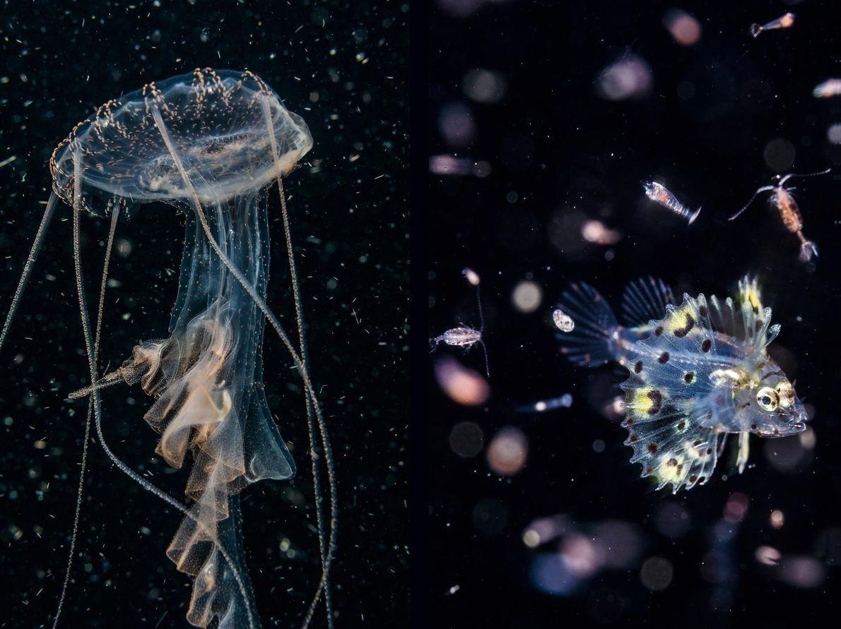 Medusa y larva de pez león.