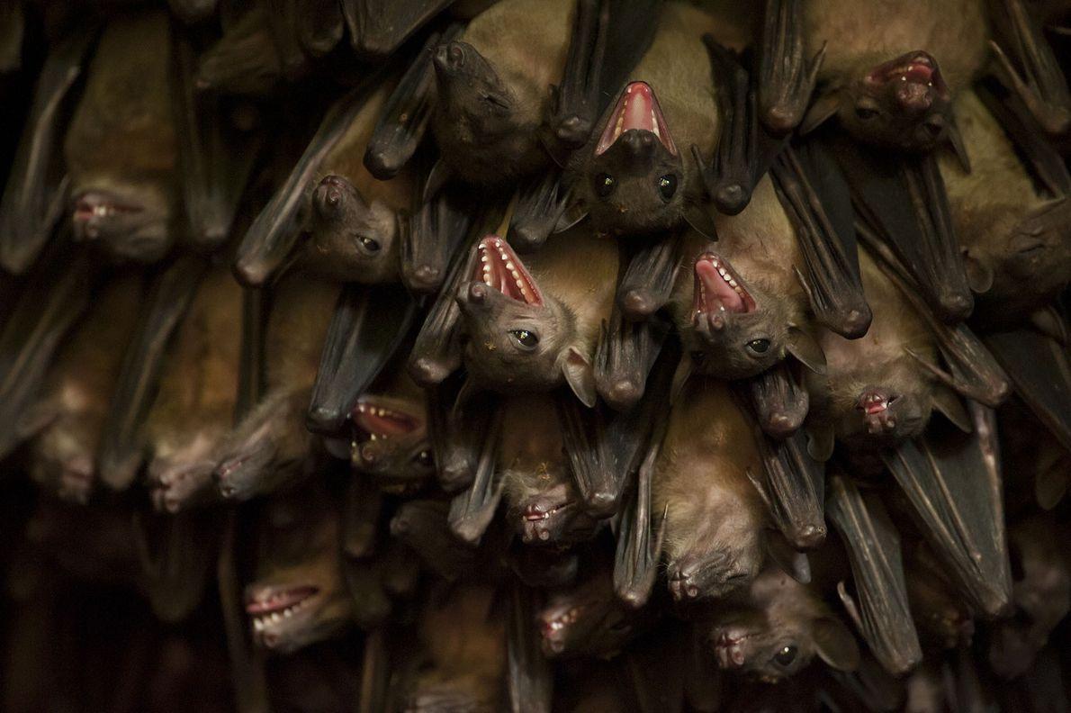 "Una colonia de murciélagos egipcios de la fruta (""Rousettus aegyptiacus"") en una cueva cerca de Jacana ..."