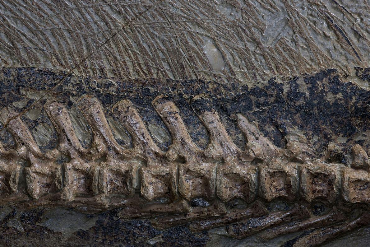 Un primer plano muestra la columna vertebral y las cerdas de la cola de un fósil ...