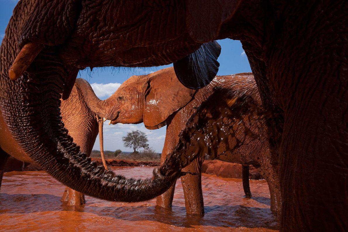 Elefantes huérfanos en un pozo de agua artificial en el Parque Nacional Tsavo East, Kenia.