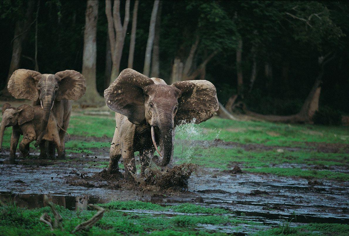 Los elefantes, que son muy protectores con sus familias y crías, atacan si se sienten amenazados. ...