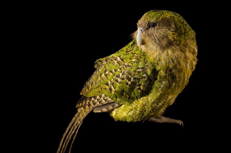 El kakapo en peligro crítico da algunas pistas sobre lo que el loro gigante pudo haber ...