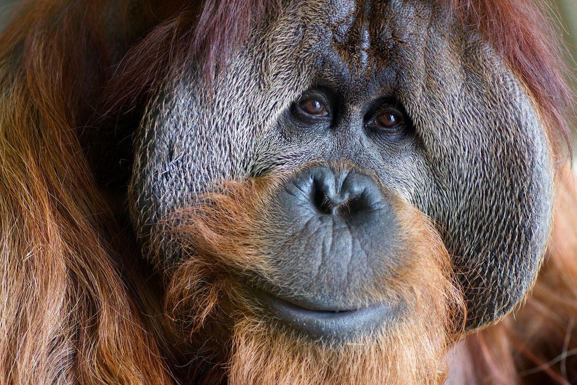 Azy es un orangután de 38 años de edad nacido en el Parque Zoológico Nacional Smithsoniano ...