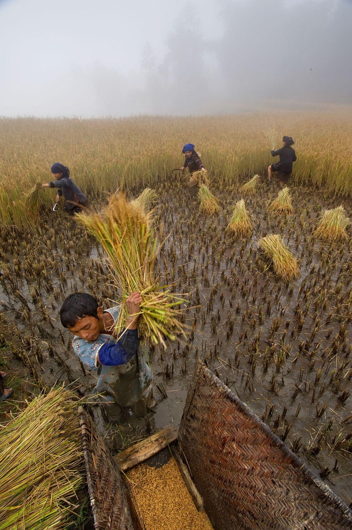 La familia Li Kaixin cosecha arroz cerca de Sheng Cun, un pueblo en la provincia de ...