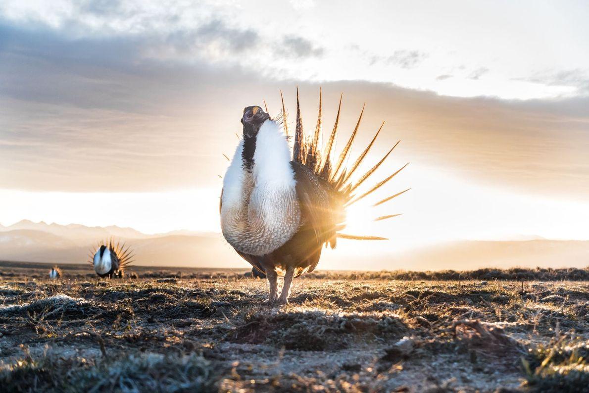 El sol sale en Wyoming detrás de unos urogallos que se pavonean con el pecho hinchado ...