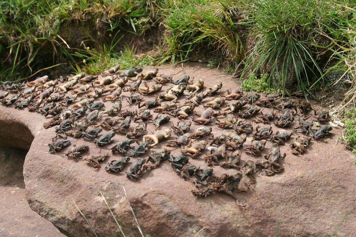amphibian-plague