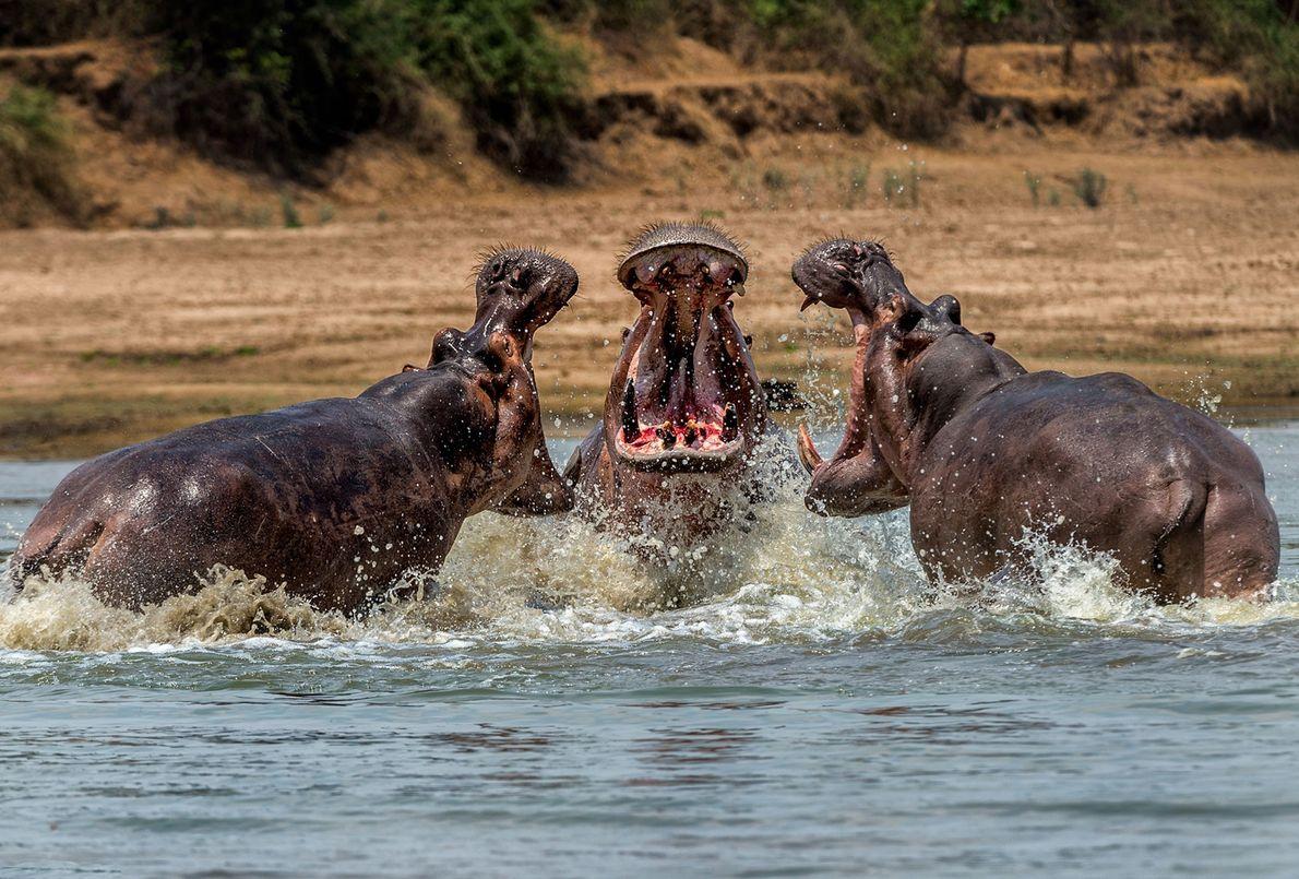 Hipopótamos se enfrentan en Zambia.