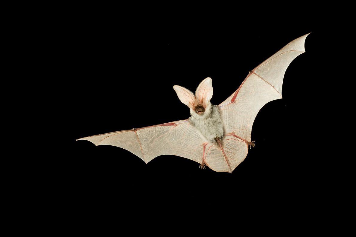 Un murciélago moteado hembra vuela por el cielo nocturno en el Kaibab National Forest, Arizona.