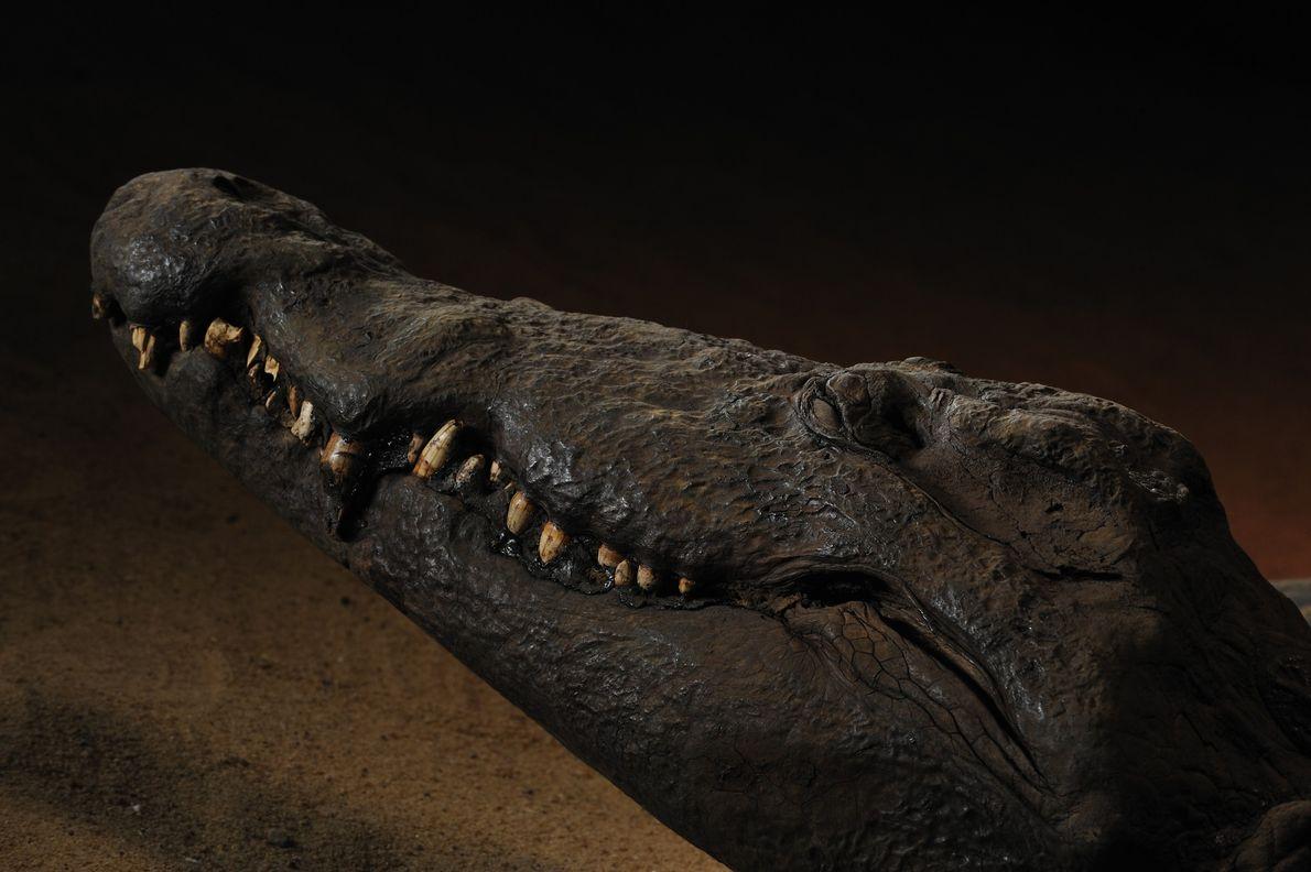 Una momia de cocodrilo ofrece una sonrisa enigmática miles de años después de su muerte. Los ...