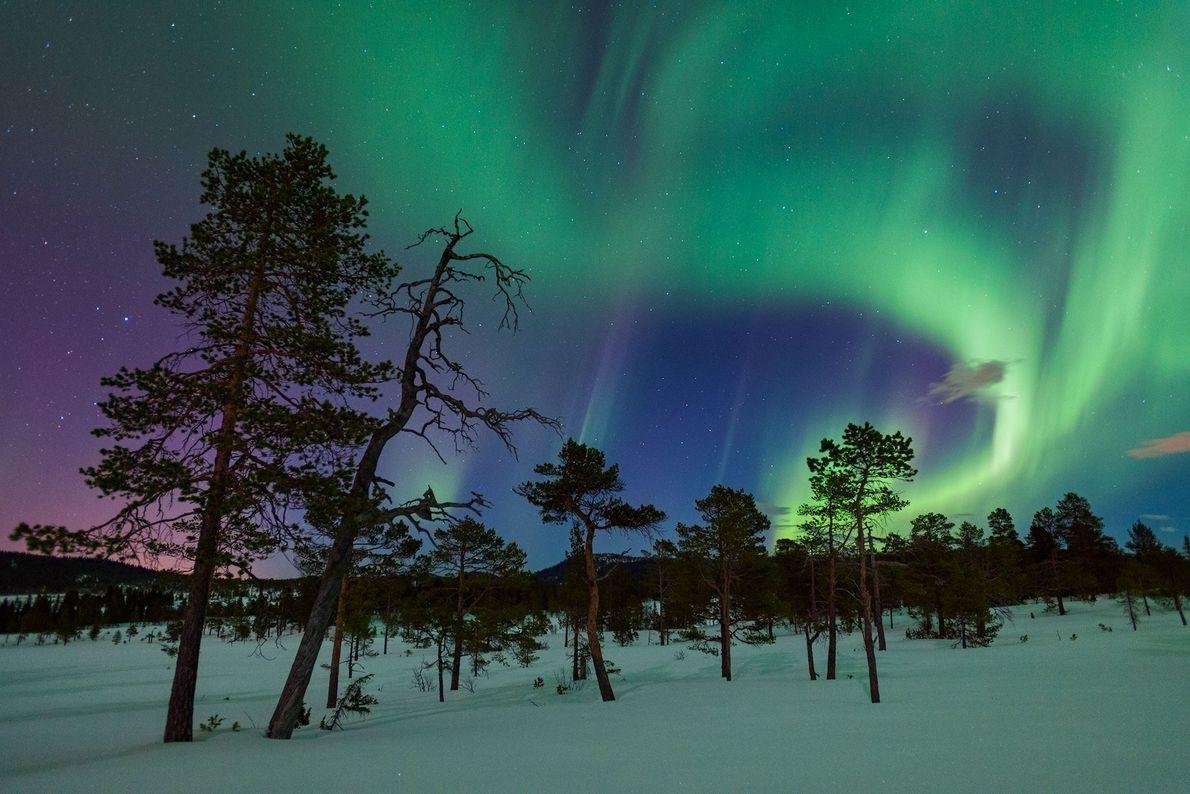 Los pinos silvestres tras un cielo lleno de auroras en Gjenvollhytta, Noruega.