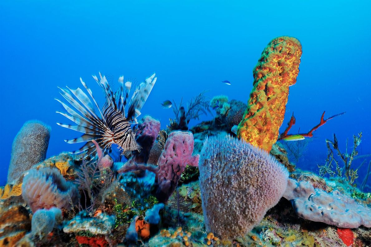 Los peces león son una reciente especie invasora que está dañando los arrecifes de Belice.