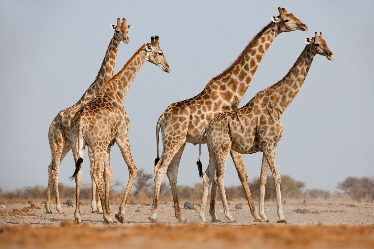 Jirafas macho que persiguen a una hembra en celo en el Parque Nacional de Etosha, Namibia.