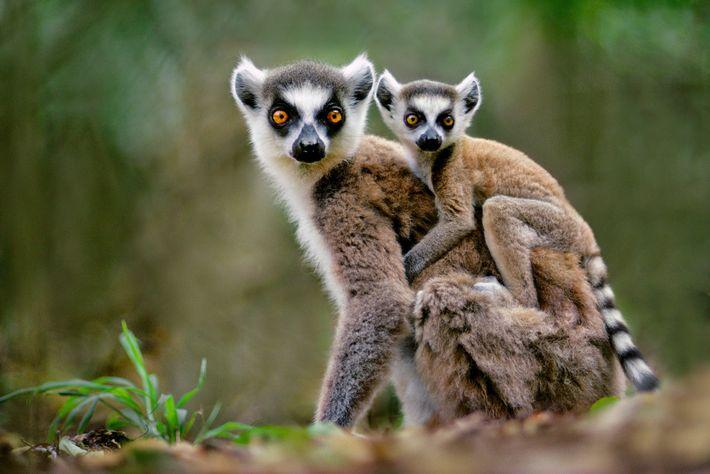 Los lémures de cola anillada son muy populares como mascotas, a pesar de que es ilegal ...