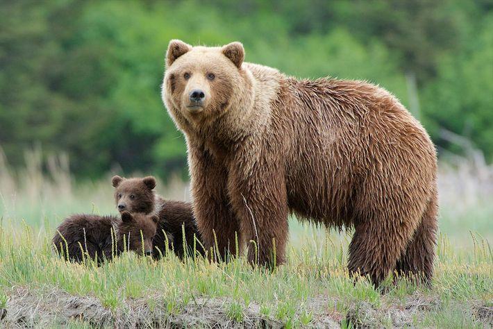 Una madre oso pardo vigila el Parque Nacional Lake Clark en Alaska. El depredador se encuentra ...