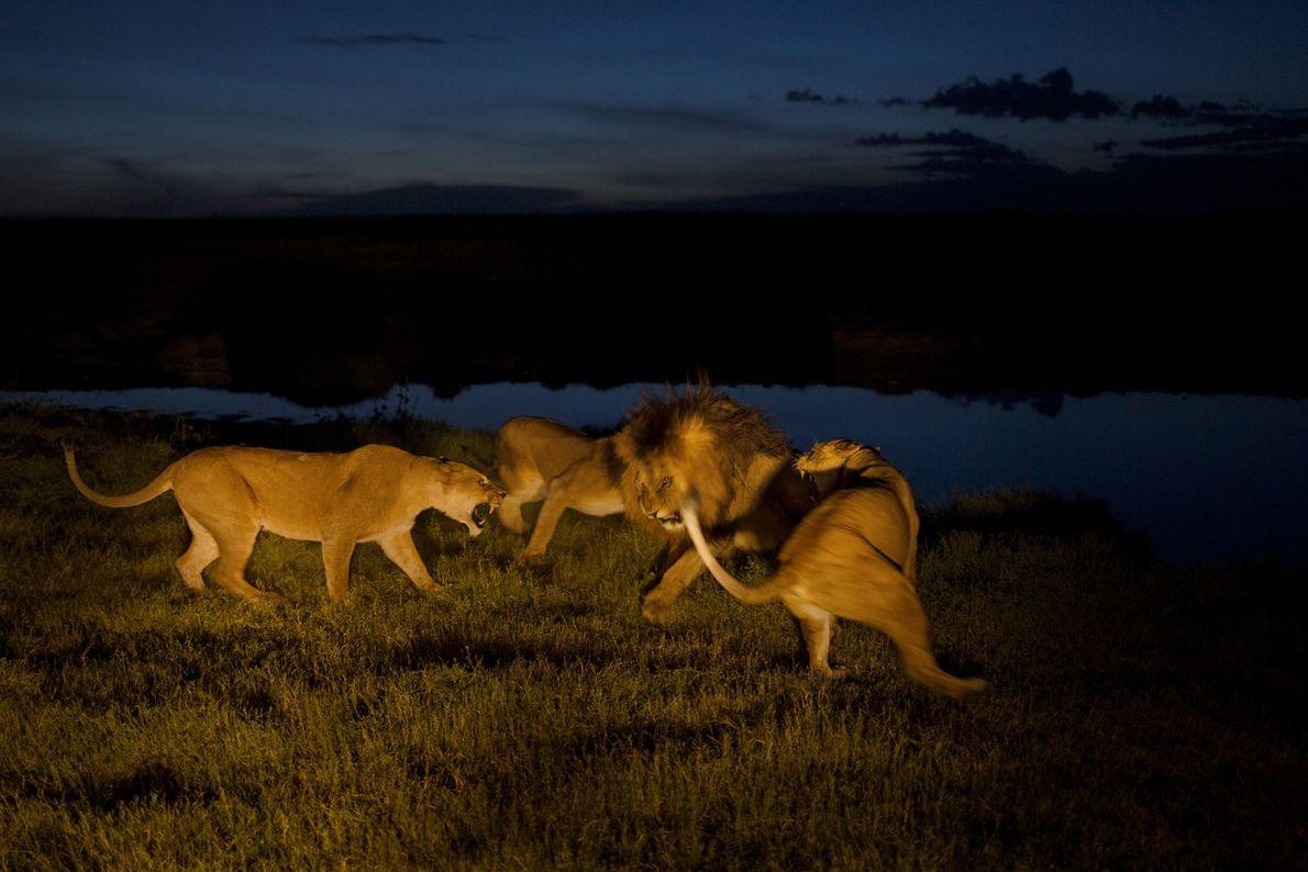 Las hembras Vumbi, estresadas y ferozmente protectoras de sus crías, se cruzan con C-Boy, un macho ...