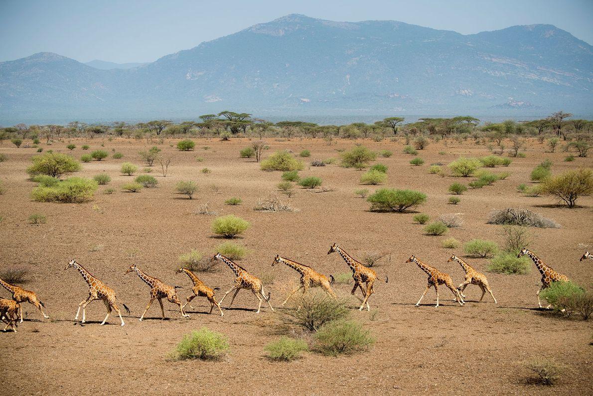 Se cree que la disminución en el número de ejemplares de jirafas es consecuencia de la ...