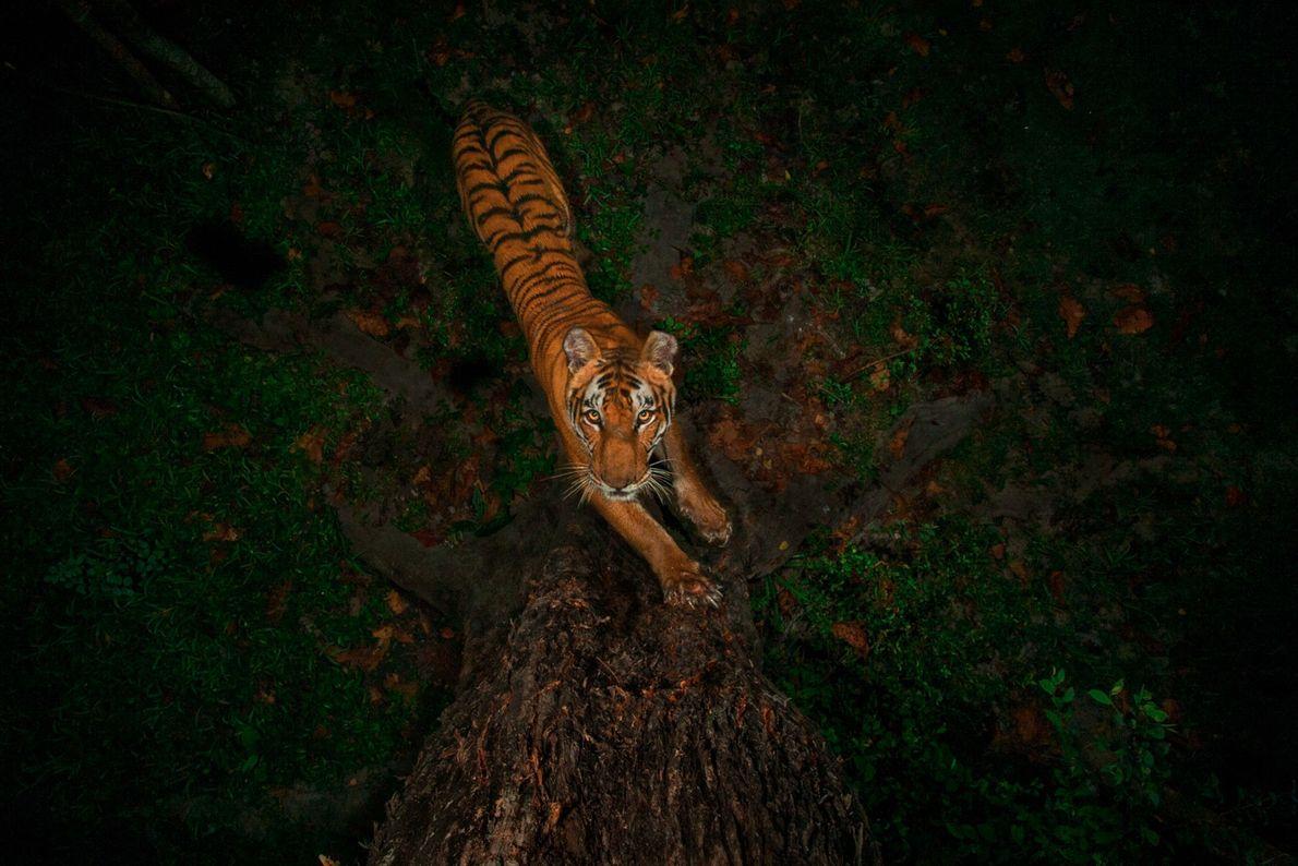 Tigre fotografiado por una cámara trampa en un árbol en el Parque Nacional Kaziranga, en la ...