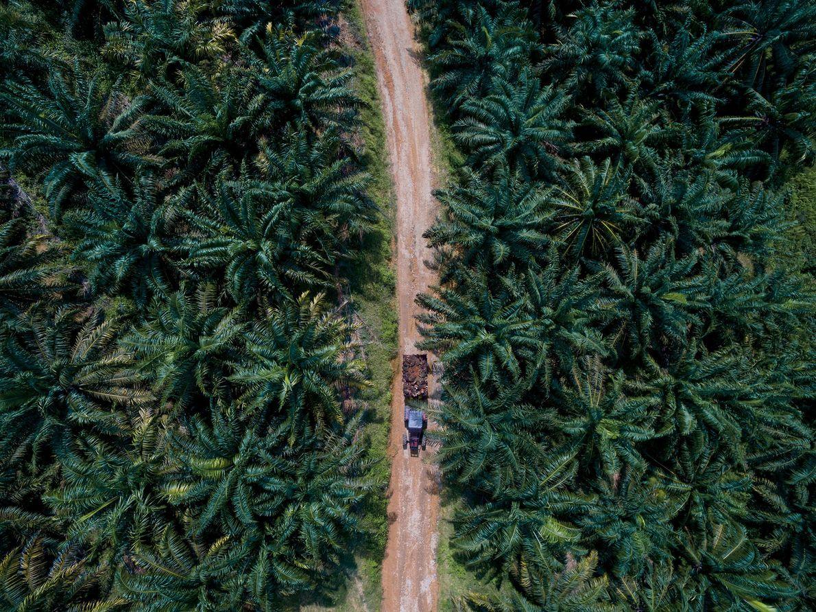 Los frutos de la palma de aceite se cosechan a mano y luego se transportan en ...