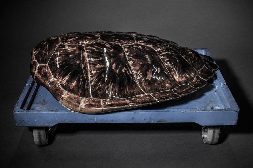 Aunque las tortugas carey tienen una distribución amplia, la UICN las clasifica como especie en peligro ...