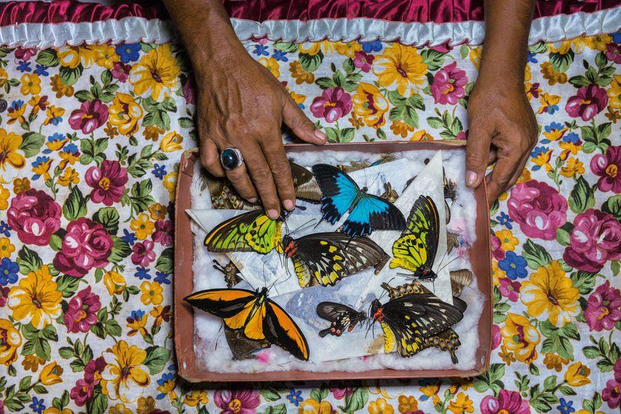 Un cazador de mariposas en la isla de Bacan, Indonesia, clasifica sus especímenes, que venderá en ...