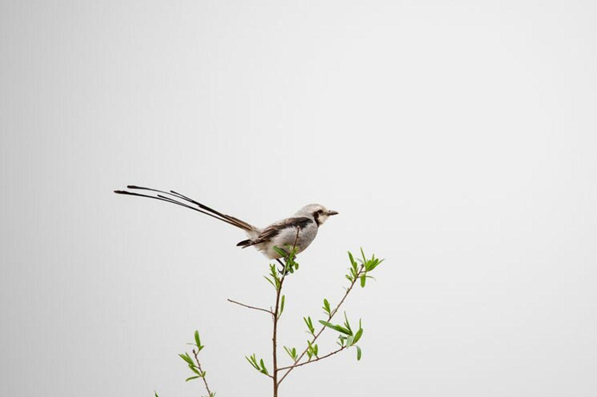 """Yetapá Grande, Esteros del Iberá. Corrientes. """"Es un ave amenazada y se laencuentra en el norte ..."""