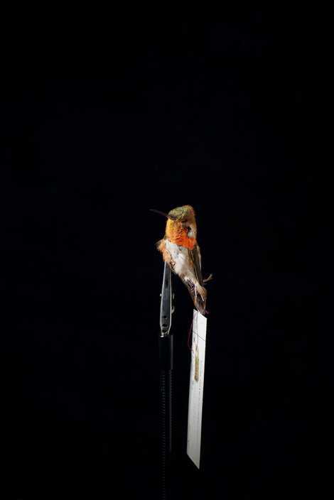 Los colibríes rufos son famosos por defender sus territorios de los intrusos de forma agresiva, y ...