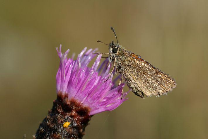 Las mariposas, como esta mariposa patrón europeo, son importantes para polinizar cultivos florecientes y otras plantas.