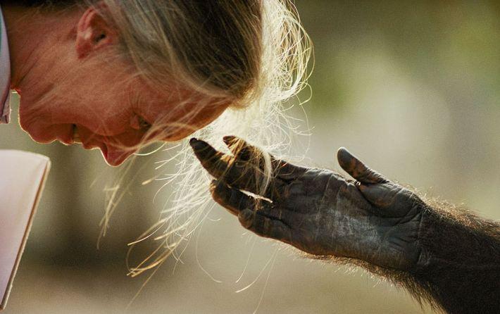 Durante un viaje para crear conciencia sobre los chimpancés en cautiverio, Jane Goodall interactúa con un ...