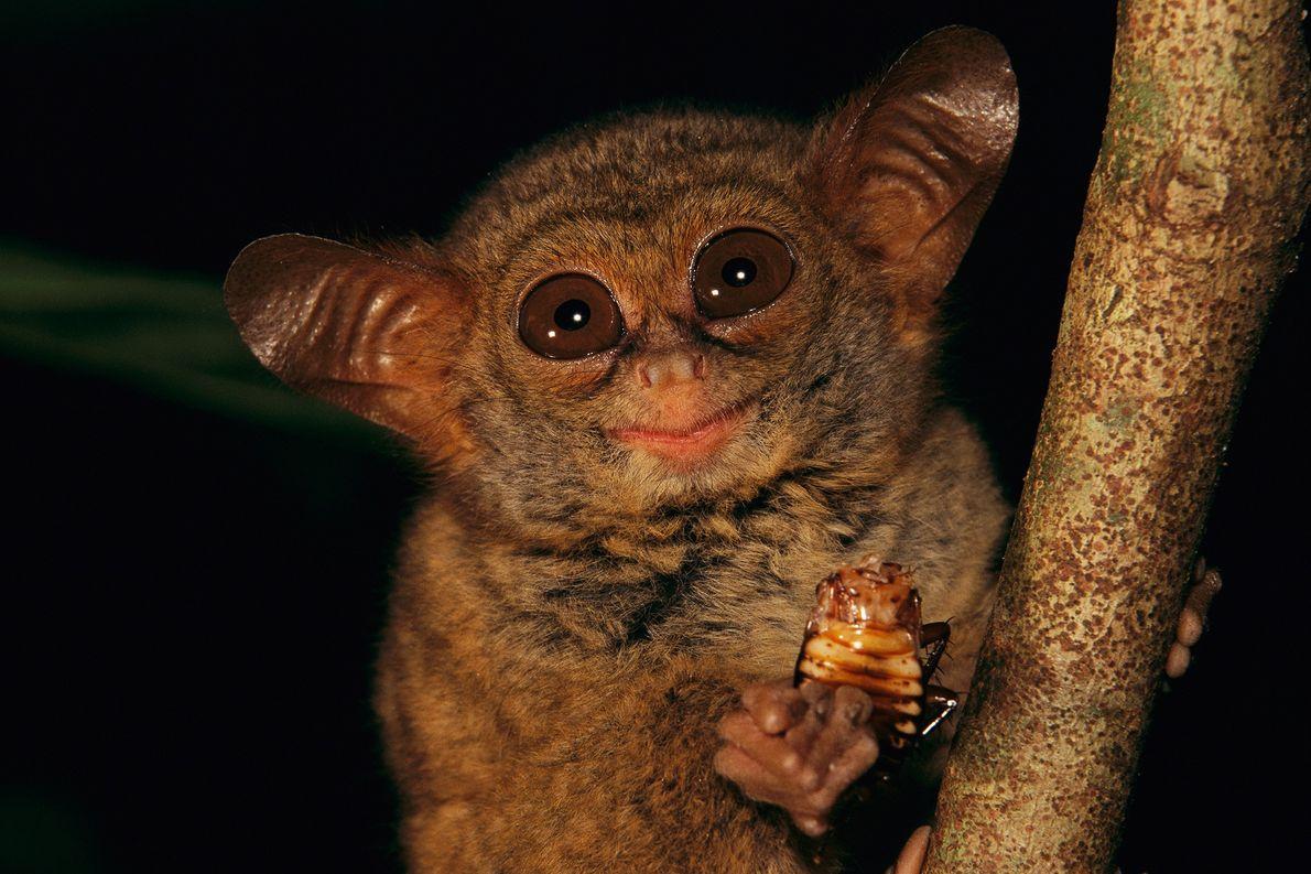 Un tarsero come una cucaracha en la reserva natural de Tangkoko-Duasudara en Sulawesi, Indonesia. Los primates ...