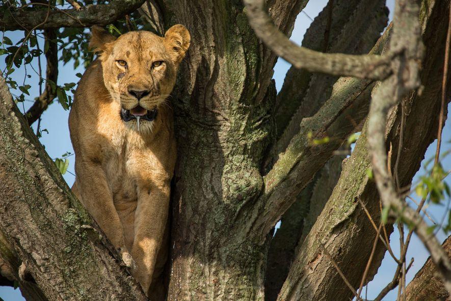 Una de las leonas vigila desde un árbol. Como la mayoría de las leonas tienen una ...