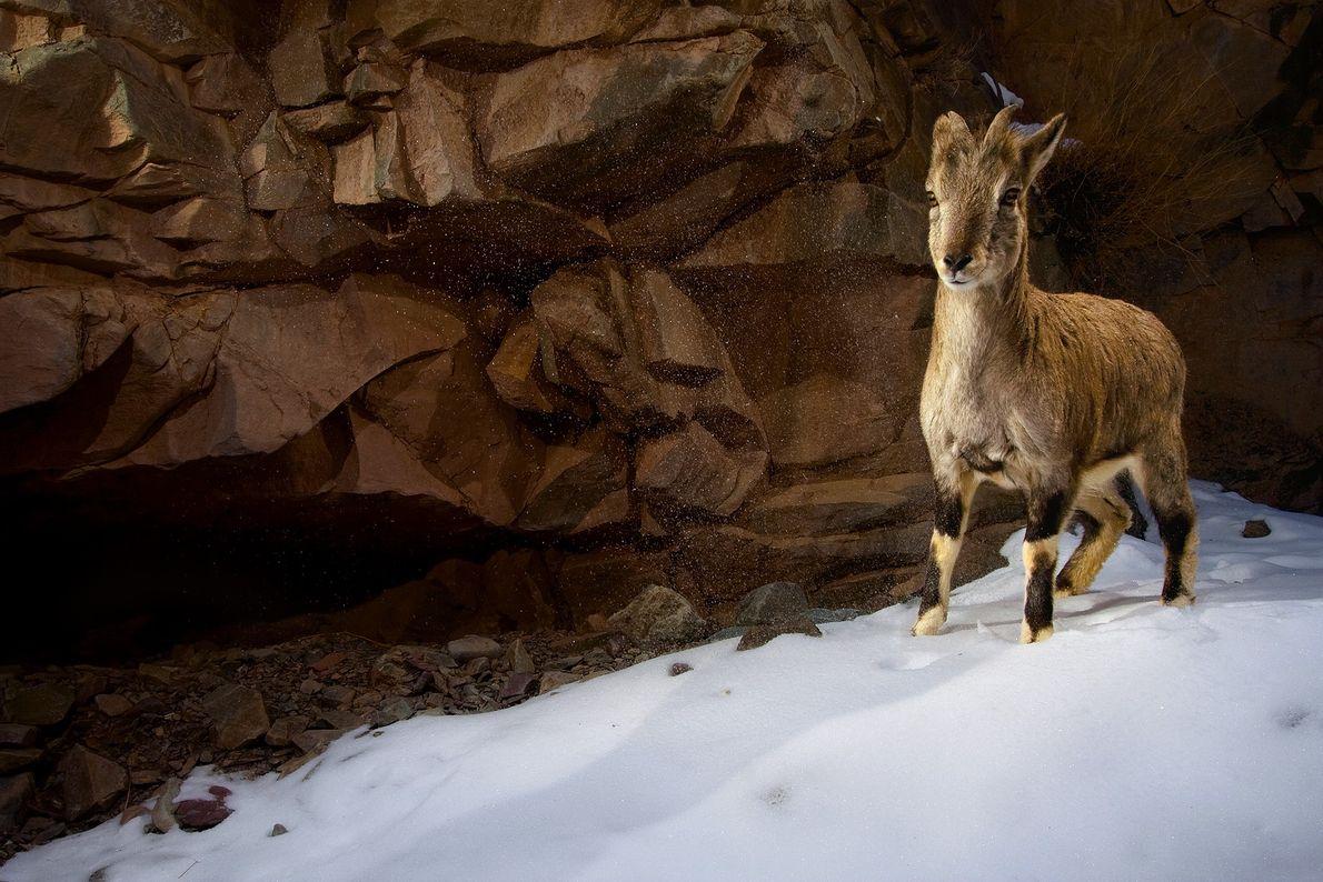 Un joven carnero azul, también denominado baral, sobre la nieve del parque nacional de Hemis, India. ...