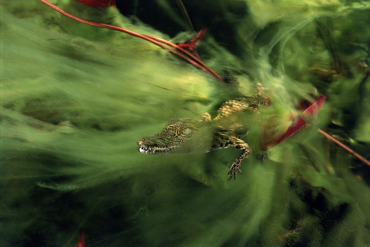 Una cría de cocodrilo del Nilo se oculta entre las algas del canal Ncamasere del delta ...