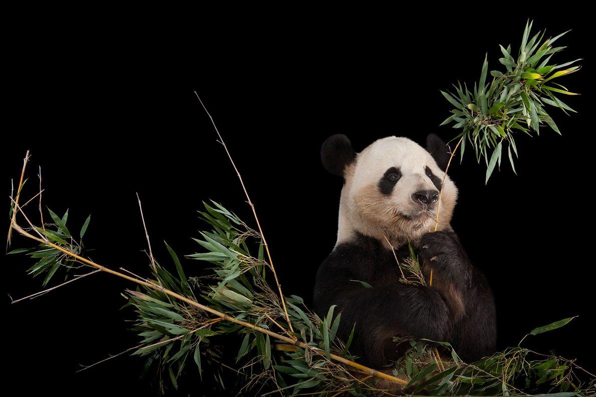 Los ejemplares de panda gigante han aumentado lo suficiente como para que la Lista Roja de ...