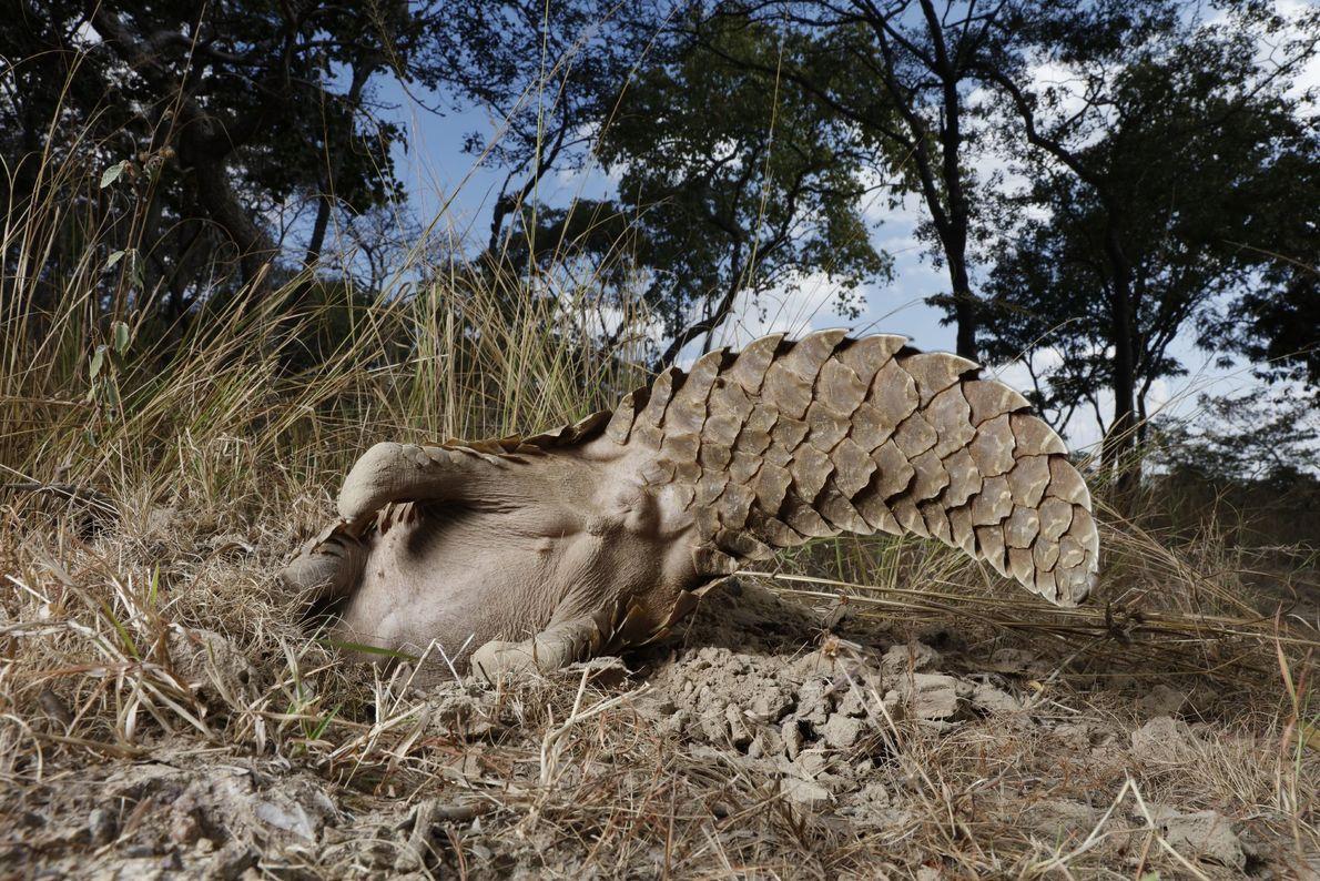 Un pangolín en una propiedad de Tikki Hywood Trust agita su cola mientras inspecciona el área ...