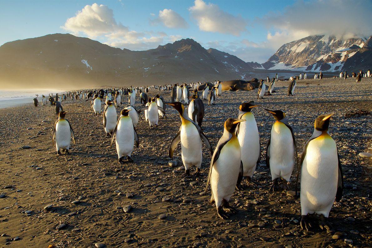 Una colonia de pingüinos rey en Georgias del Sur, una isla en el océano Atlántico sur. ...