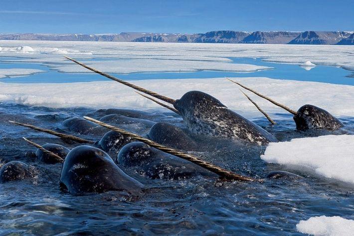 Los narvales macho se alimentan de bacalao en la bahía de Lancaster, en Canadá. Al igual ...