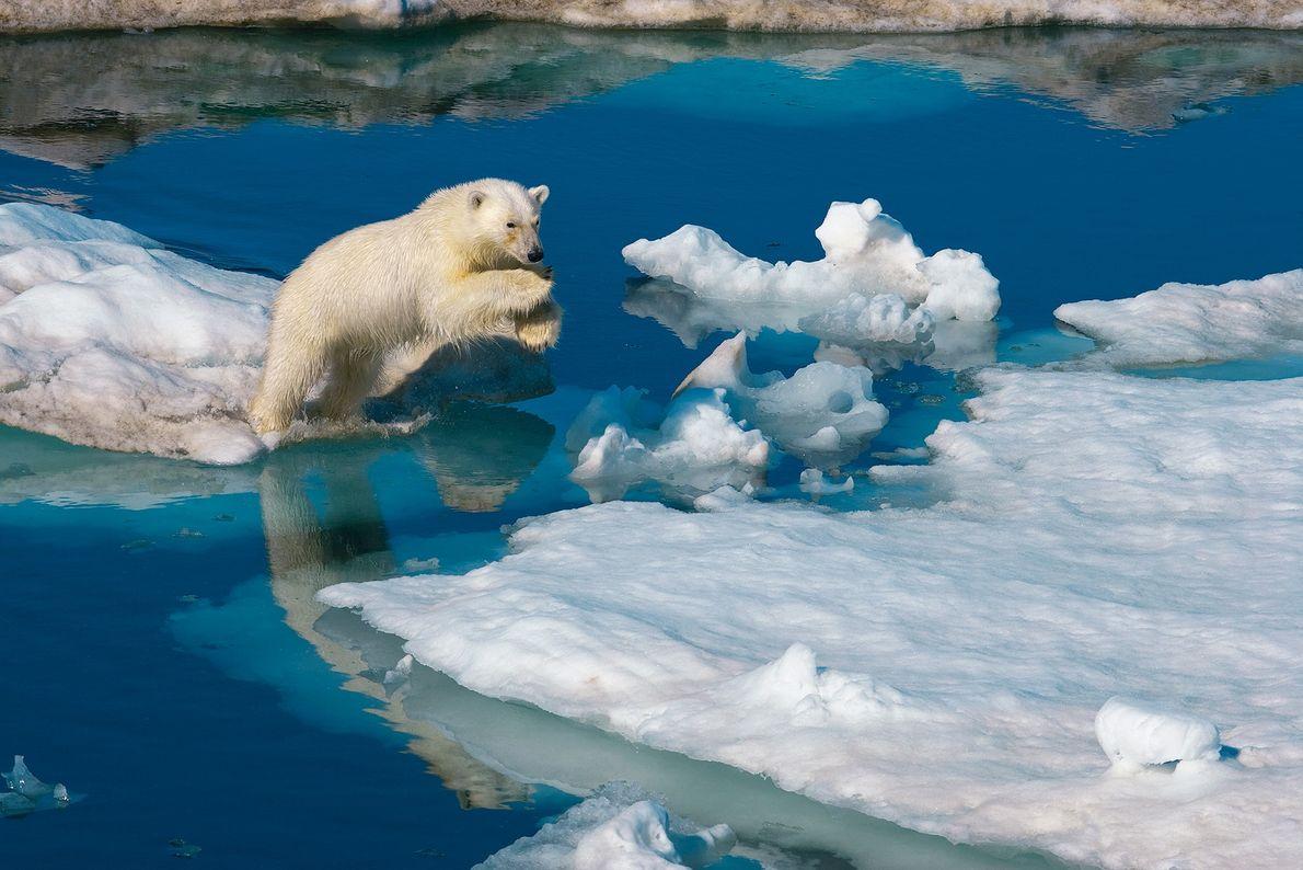 Un joven oso polar macho salta sobre un bloque de hielo en Svalbard, Noruega. El cambio ...