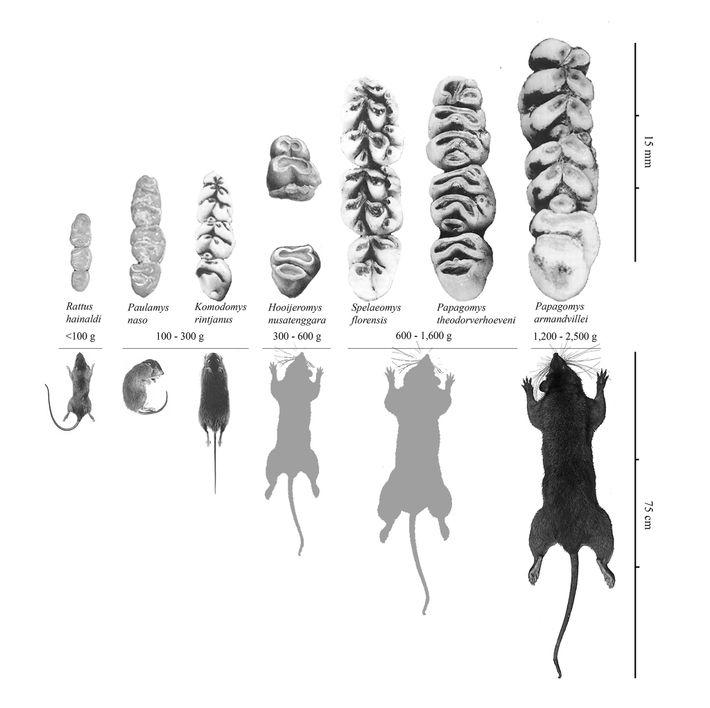 Los huesos de la cueva Liang Bua revelaron que los hobbits compartían la cueva con ratas ...