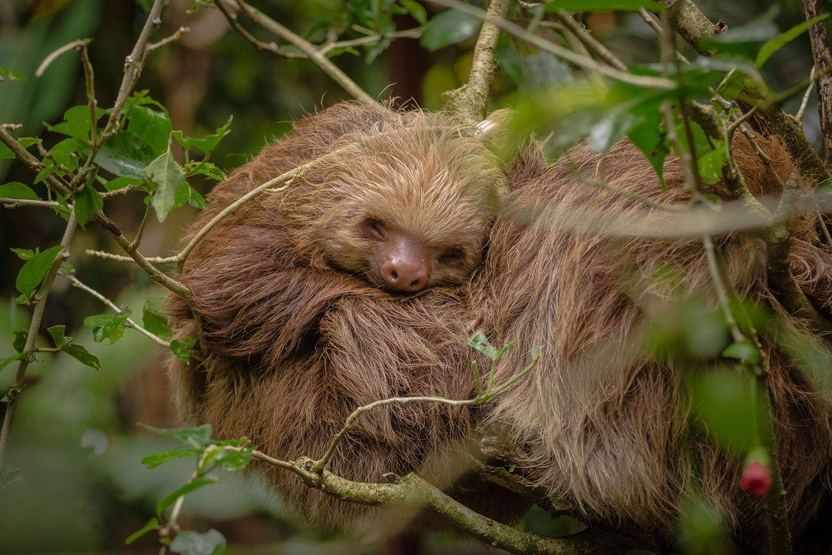 Un perezoso huérfano, rescatado por el Jaguar Refuge en Costa Rica, duerme felizmente lejos del peligro.