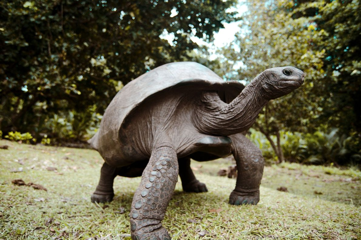 Tortuga gigante de Aldabra. Isla Curieuse, Seychelles.