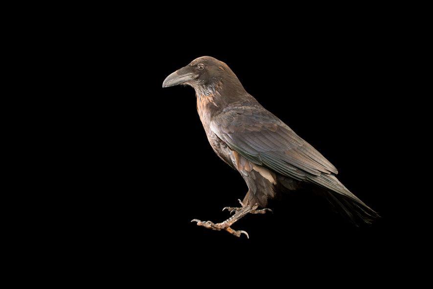Cuervo común (Corvus corax principalis) en el zoo de Los Ángeles. Aunque comparten muchas similitudes, las ...