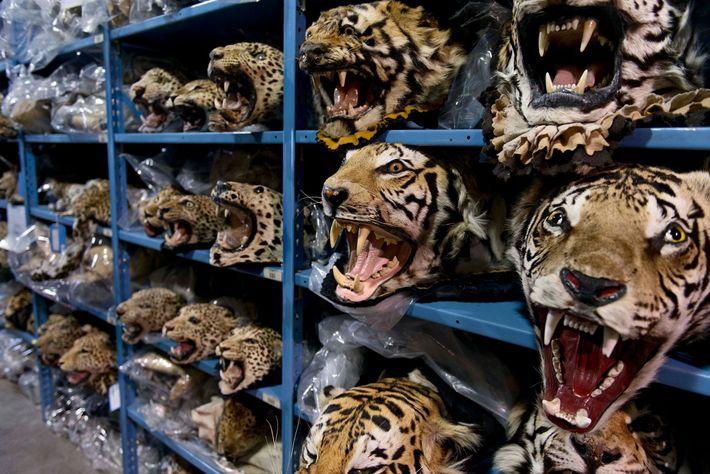 Gran parte del comercio ilegal internacional de tigre se destina a China y Vietnam, pero estas ...