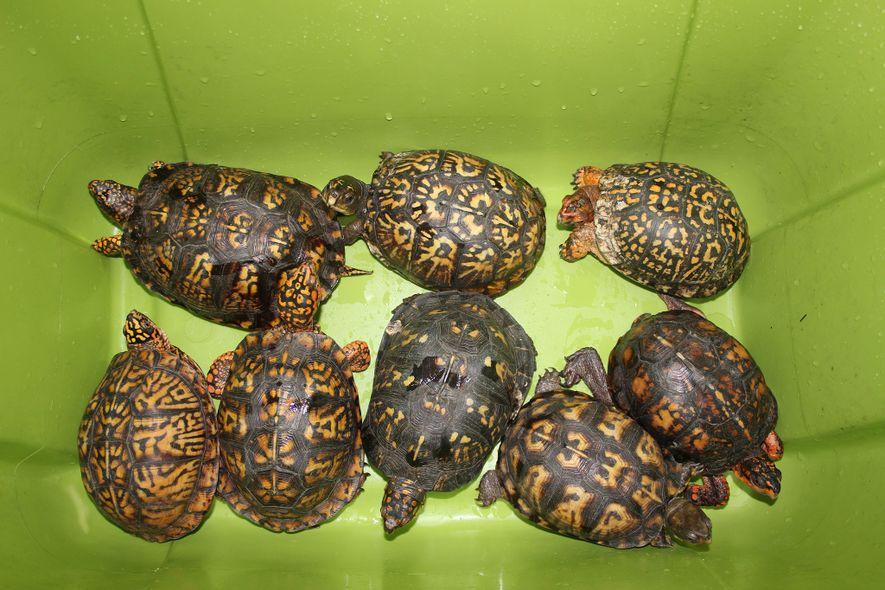 Los conservacionistas temen que, debido a que las tortugas, como estas tortugas de caja orientales, pueden ...