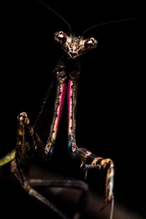 "LannallamaaestaPseudovatesmantis""unaverdaderaprincesadelrock"",remarcandoel patróndecoloroscurodeestahembra,eltóraxpuntiagudoylosasombrososmiembros raptorios de color rosa."