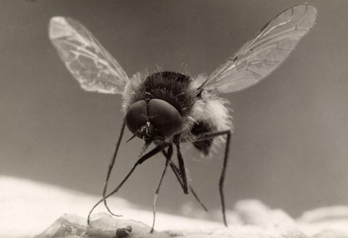 Las moscas abejas están esparcidas por toda Europa, América del Norte y Asia. Tal como la ...
