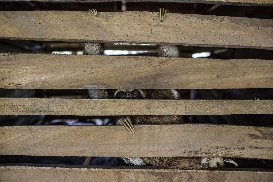 Un perezoso mira hacia fuera en el interior de una jaula oscura, descubierta bajo una casa ...